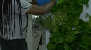 Hydroponic garden grows fresh vegetables in Troy University Library.